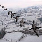 Vol en ULM avec les Bernaches Nonnettes