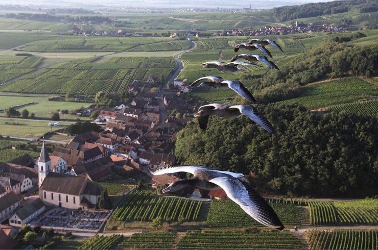 Vol en ULM avec les oiseaux, oiseaux, en Alsace